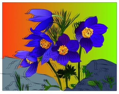 Любимые цветы | Прострел раскрытый