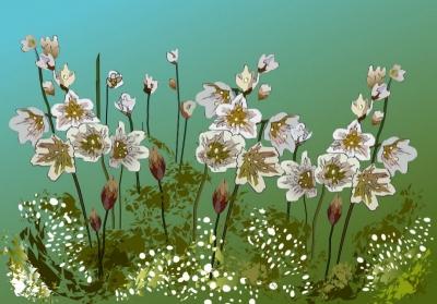 Любимые цветы | Ллойдия поздняя