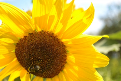 Макромир | Sunflower